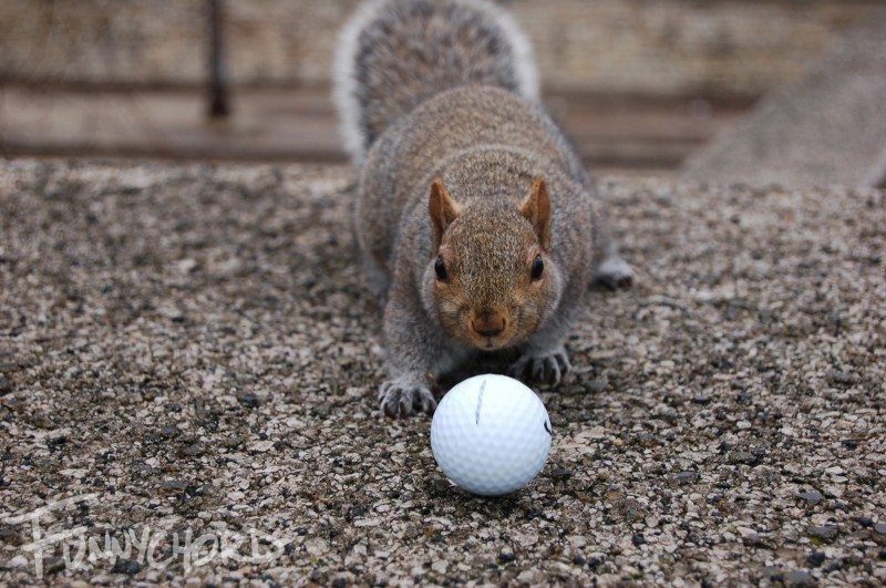 Cautiously approaching my golf ball...determined it wasn't food and pushed it away!